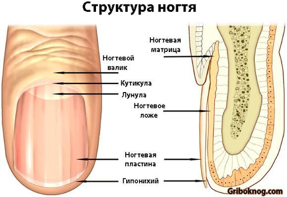Отрастает ли грибок ногтей