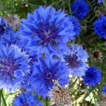 Василек – сорняк и символ небес