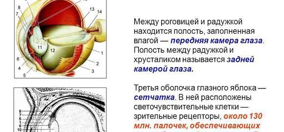 imagesgde-nahodjatsja-svetochuvstvitelnye-retseptory-palochki-i-kolbochki-thumb.jpg