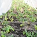 Почему желтеют листья у рассады помидор