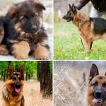 Как можно назвать собаку-овчарку