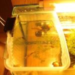 Беременная рыбка гуппи