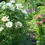Цветы пионы – уход и посадка