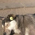 Сочинение о домашнем животном о собаке