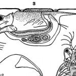 Отряд Разноногие ракообразные или Бокоплавы (Amphipoda)