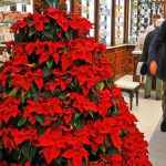 Рождественский цветок пуансетия — уход в домашних условиях
